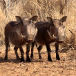 Stock Photo: Alert Warthogs Standing Under Bushveld Trees