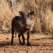 Stock Photo: Alert Warthog Male in Clearing