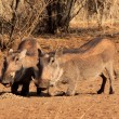 Stock Photo: Alert Warthogs Eating Pellets