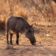Stock Photo: Warthog Piglet