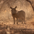 Stock Photo: Alert Warthog Male in Dusty Bush