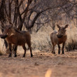 Stock Photo: Alert Warthogs Under Bushveld Trees