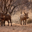 Stock Photo: Alert Warthogs Lookout Under Bushveld Trees