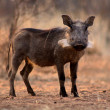Stock Photo: Alert Warthog Sow