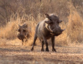 Alert Warthogs Walking Through Bushveld Grass — Stock Photo