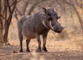 Large Alert Warthog Male — Stock Photo