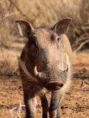 Warthog Male Close-up — Stock Photo