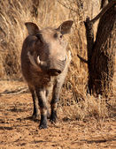 Large Alert Warthog Male — Stock Photo