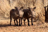 Alert Warthogs Standing Under Bushveld Trees — Stock Photo