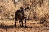Alert Warthog Male in Clearing — Stock Photo