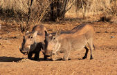Alert Warthogs Eating Pellets — Stock Photo