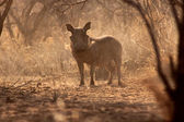 Alert Warthog Male in Dusty Bush — Stock Photo