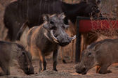 Alert Warthogs Eating Pellets with Guard — Stock Photo