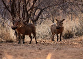 Alert Warthogs Under Bushveld Trees — Stock Photo