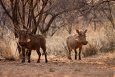Alert Warthogs Lookout Under Bushveld Trees — Stock Photo