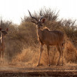 Stock Photo: Alert Kudu Bull and Ewe