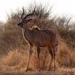 Stock Photo: Proud Kudu Bull Pose