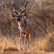 Stock Photo: Slender Trophy Kudu Bull