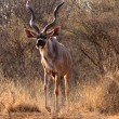 Slender Trophy Kudu Bull - Stock Photo