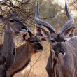 Stock Photo: Kudu Family