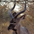 Stock Photo: Kudu Under Bushveld Thorn Tree