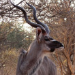 Stock Photo: Kudu Looking Sideways