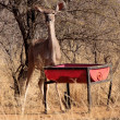 Stock Photo: Kudu Ewe at Feeding Pit