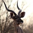 Kudu Bull Portrait — Stock Photo