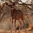 Stock Photo: Young Kudu Ewe Foal Under Bushveld Tree