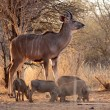 Stock Photo: Young Kudu Bull with Warthogs
