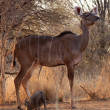 Stock Photo: Proud Kudu Ewe Pose