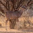 Stock Photo: Alert Kudu Ewe Under Bushveld Tree