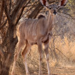 Stock Photo: Alert Young Kudu Ewe Under Bushveld Tree