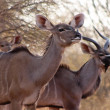 Kudu Ewe with Bull in Background — Stock Photo