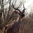 Kudu licking nose - Stockfoto