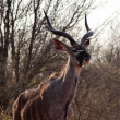 Kudu licking nose - Photo