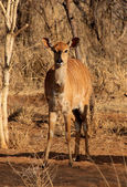 Young Alert Female Njala — Stock Photo