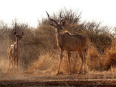 Alert Kudu Bull and Ewe — Stock Photo