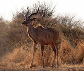 Proud Kudu Bull Pose — Stock Photo