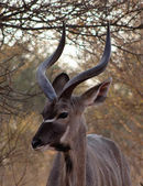 Kudu Under Bushveld Thorn Tree — Stock Photo