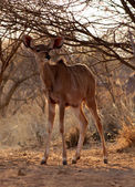 Young Kudu Ewe Foal Under Bushveld Tree — Stock Photo