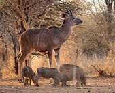Young Kudu Bull with Warthogs — Stock Photo
