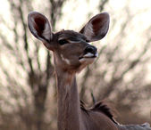 Portrait of Alert Kudu Ewe — Stock Photo
