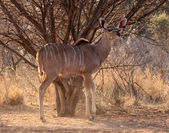 Alert Kudu Ewe Under Bushveld Tree — Stock Photo
