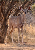Alert Young Kudu Ewe Under Bushveld Tree — Stock Photo