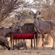 Kudu Herd and Worthogs at Feeding Pit — Stock Photo