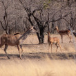 Kudu Ewe Walking Past Impala Ram - Stock Photo