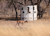 Bow Hunters Hideout with Impala — Stock Photo