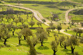 Olive Field — Stock Photo