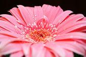 Frühlingsblume in wassertropfen — Stockfoto